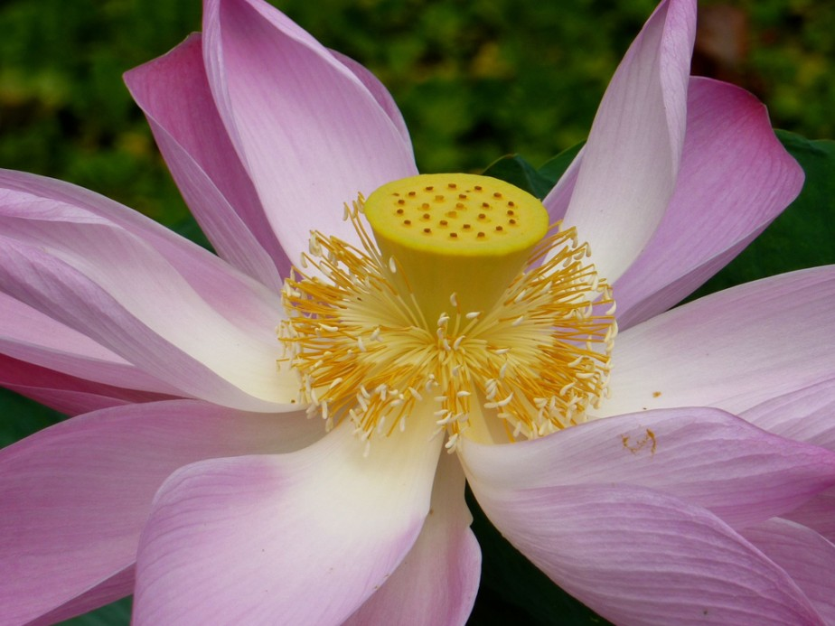 Pink_Lotus_Flower for site